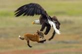 Graba la pelea entre un zorro y un águila por un conejo (+Vídeo)