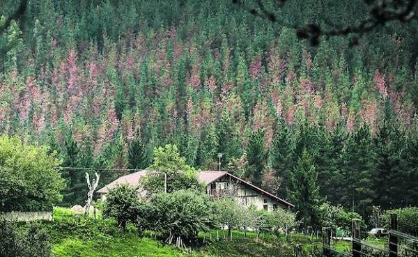 Sobre la enfermedad del pino en Euskadi: Piensa mal y acertarás