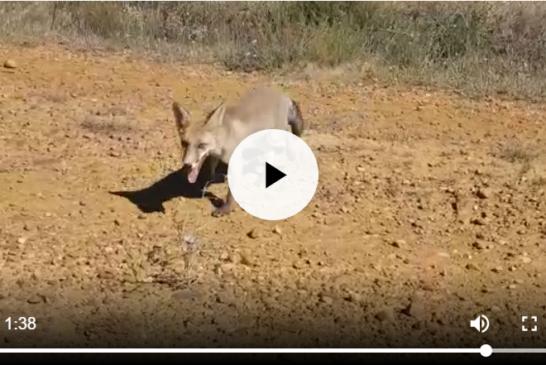 ¿El zorro es un animal salvaje o doméstico?