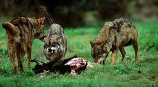 El lobo ataca un 36% más al norte y un 72% al sur del Duero