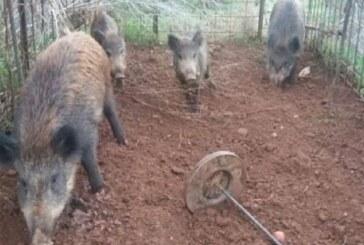 La RFEC condena el ensañamiento contra jabalí de Valencia