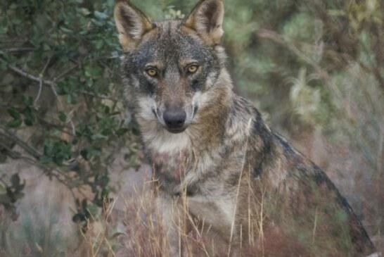 Los lobos matan y devoran a dos perros de un cazador