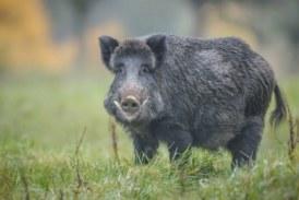[eiberri.eus] Eibar pide ayuda foral para evitar la presencia de jabalíes y corzos
