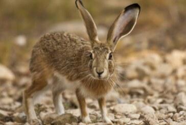 La RFEC suspende la caza de liebre en competición