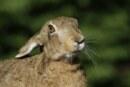Fiasco estatal en la gestión natural de la liebre (+ vídeo)
