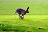 ¿Influye el zorro en las poblaciones de liebre?