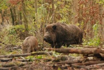 La caza es insuficiente para controlar las poblaciones de jabalís ante la amenaza de la peste porcina