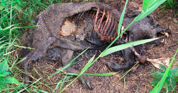 Peste Porcina. Francia marca zonas donde acabará con todos los jabalíes