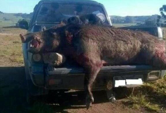 Bélgica y Francia adoptan medidas drásticas con el jabalí para hacer frente a la peste porcina