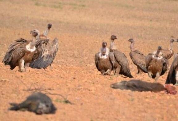 La caza como sustento de las especies carroñeras (+vídeo)