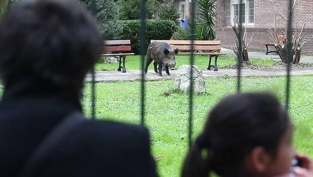 Un jabalí se pasea por Erandio y acaba en su instituto (+vídeo)