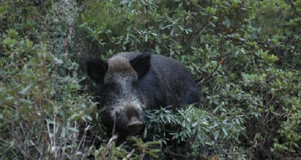 Carne silvestre de tres estrellas (+ vídeos)