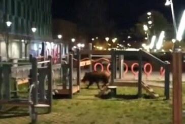 Los jabalíes continúan con su invasión de los cascos urbanos alaveses (+ vídeo)