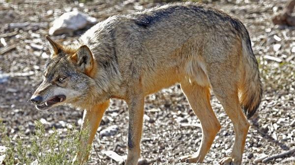 Charla sobre el lobo en Euskadi organizada por ENBA
