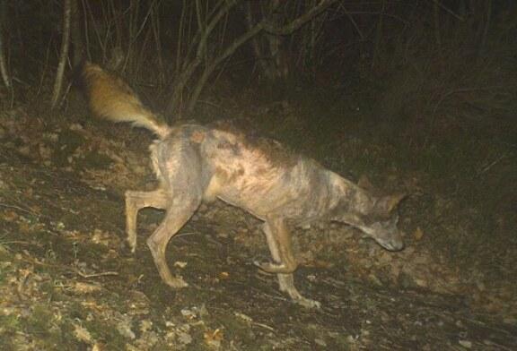 La sarna contagia y mata a los lobos