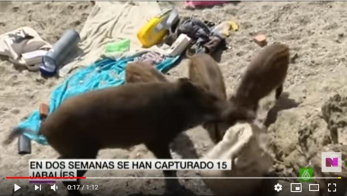 Los jabalíes llegan a playas y bares y desatan la alarma en Portugal (+ vídeo)