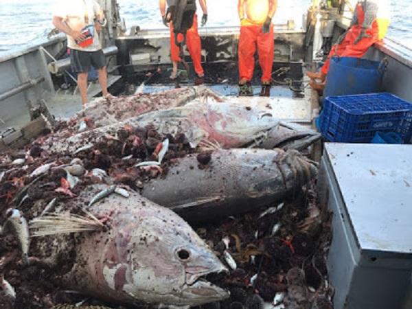 ¿Pesca sin muerte en el mar ATÚN ROJO