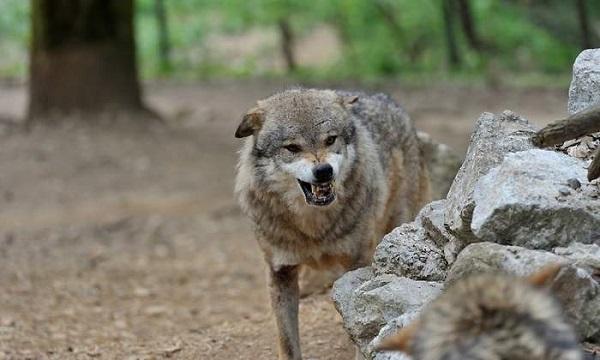 El Tribunal Superior avala las acciones de control de población del lobo en Cantabria