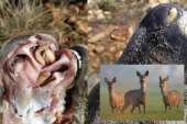 La caza de corzas es necesaria para controlar la 'larva de las narices'