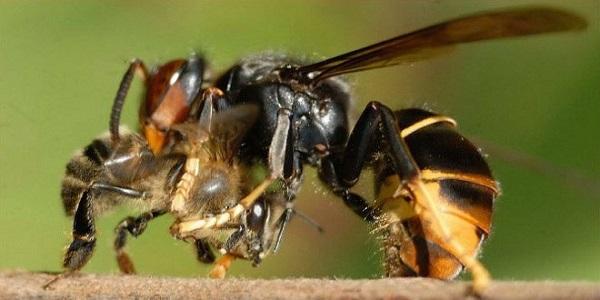Más sobre la vespa velutina o avispa asiática