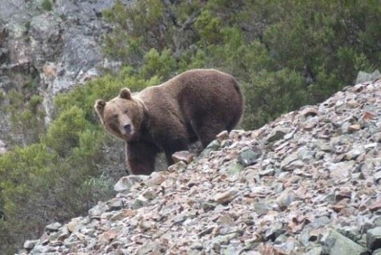 Ganaderos de los Pirineos se movilizarán en L'Aínsa para exigir la retirada de los osos