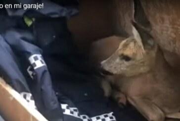 ¡Un corzo en mi garaje! (+ vídeo captura guardia municipal)
