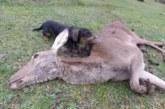 Los perros de sangre son fundamentales en la recuperación de piezas de caza mayor heridas