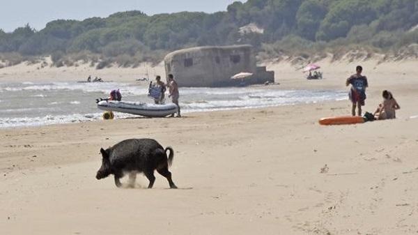 Emergencia sanitaria en Andalucía por el exceso de jabalíes