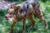 La gestión de las poblaciones de lobo se mantiene sin cambios tanto al norte como al sur del Duero