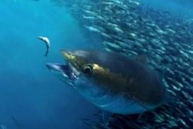 Hoy se declara el cierre precautorio del atún patudo en el Atlántico