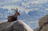 Pese a los recursos de PACMA se volverá a cazar la Cabra Montes en la Sierra de Guadarrama