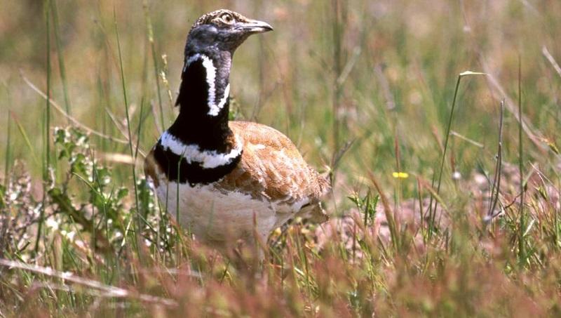 Las aves ligadas a medios agrarios desaparecen