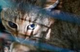 El gato zorro de Córcega ¿mito o realidad de una nueva especie salvaje?