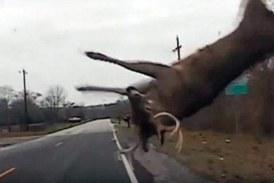 Choca contra un ciervo mientras le hacían una felación y su mujer le muerde el pene