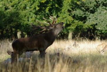 Poderes curativos de los cuernos del ciervo