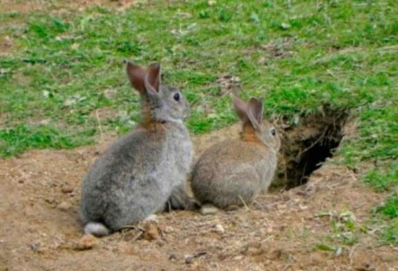 Luz verde en Europa para una nueva vacuna contra la mixomatosis del conejo