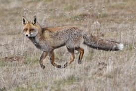 Un hombre muere de meningitis en Castellfort tras la mordedura de un zorro