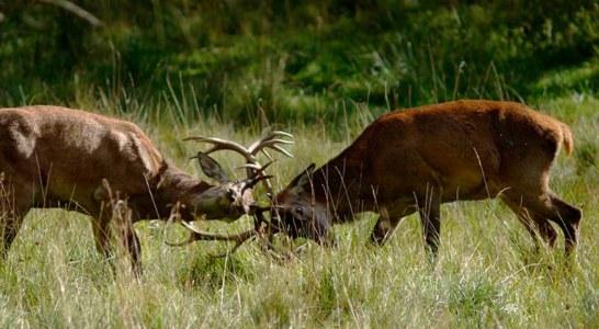 El ciervo, icono de la caza