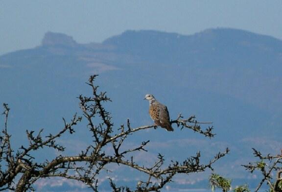 Artemisan alerta del riesgo de la declaración de la tórtola como especie vulnerable