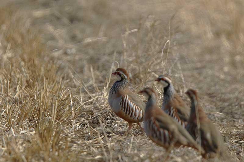 Preocupación por la disminución de aves ligadas a medios agrarios