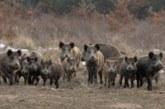 La caza es insuficiente para paliar el exceso de poblaciones de jabalíes en Euskadi
