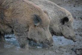 La Federación de Caza reclama a la Diputación modificaciones en el convenio de caza mayor