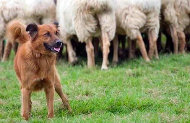 El «perro pastor vasco» una raza maravillosa, y nuestra, en peligro de extinción