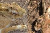 Cautela ante la aparición de una liebre afectada por la mixomatosis en Alava