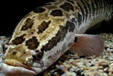 ¿Qué es un pez cabeza de serpiente, de dónde salió y por qué puede respirar fuera del agua?