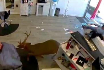 Ciervo invade peluquería rompiendo cristal (+ vídeo)