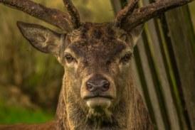 Dos heridos al ser embestidos por un ciervo dentro de un pueblo de Zamora