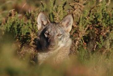 ¿Lo crees posible? El IREC enseña a varios lobos a no atacar al ganado