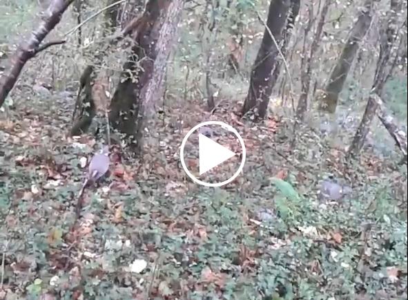 Un cazador francés graba un bando de torcaces a escasos metros