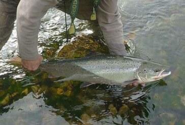 El Principado obligará a declarar los salmones capturados en la temporada de pesca sin muerte